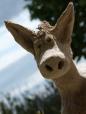 donkey portrait2
