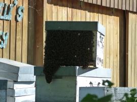 Un essaim d'abeilles a trouvé une nouvelle maison