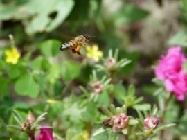 Une abeille , bien chargée de pollen . Photo prise  à Toronto .